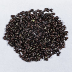 A top down photograph of a small pile of Acanthorhipsalis monacantha seeds.