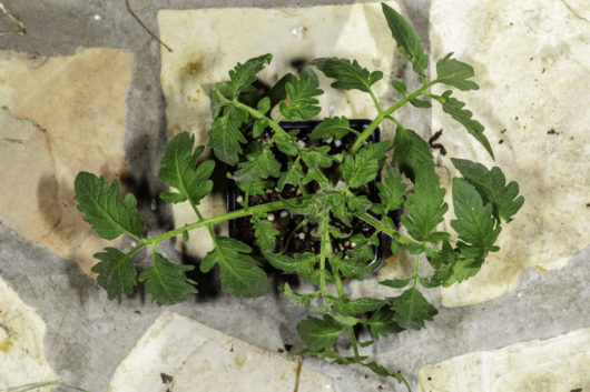A small Black Krim tomato plant that has been grown from seed.