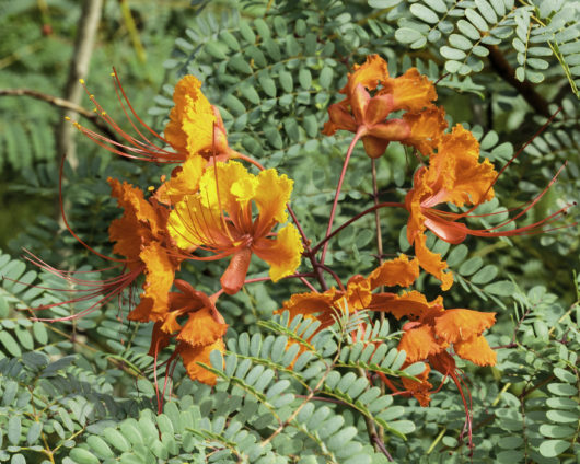 A macro photograph of a node of Caesalpinia pulcherrima flowers.