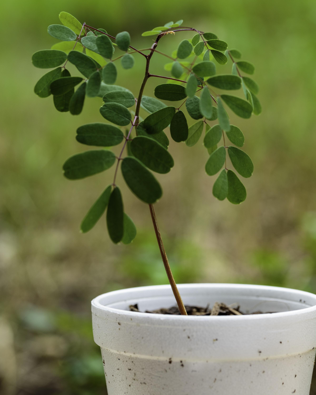 A photograph of a Caesalpinia pulcherrima seedling.
