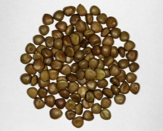 A top down photograph of a small pile of Caesalpinia pulcherrima seeds.