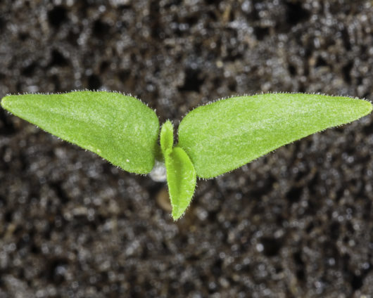 A photograph of a single Chocolate Habanero Pepper seedling that has just sprouted.