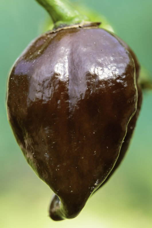 A macro photograph of a single Chocolate Habanero pepper still on the plant.