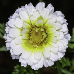A photograph of a white single Crown Daisy flower with a yellow center.