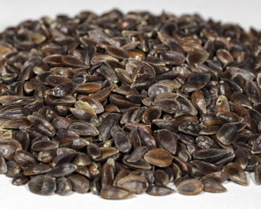 An angled front view of a small pile of Ephedra equisetina seeds.