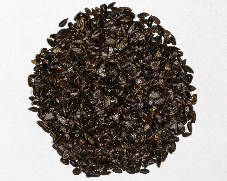 Ephedra intermedia Seeds