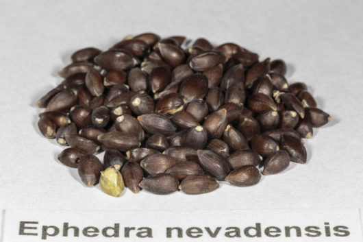 An angled front view of a small pile of Ephedra nevadensis (Nevada Ephedra) seeds.