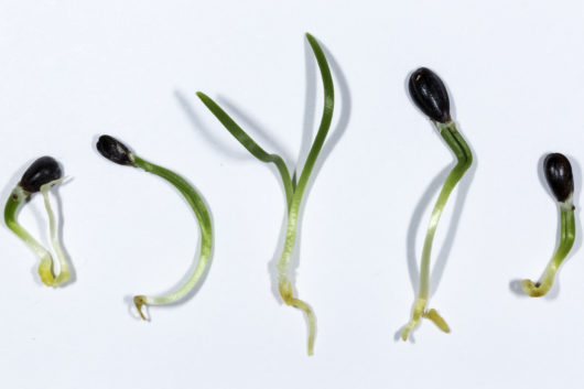 An image of several Ephedra sinica (Ma Huang) seedlings resting on a piece of paper.