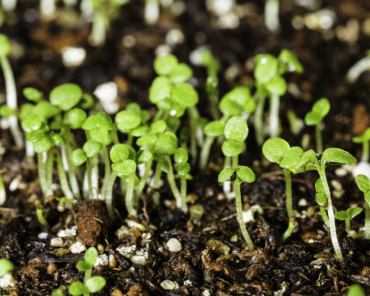A macro photograph of several tiny Petunia violacea/Petunia integrifolia (Shanin) seedlings that have just sprouted.