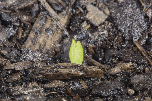 A macro photograph of a Trichocereus pachanoi (San Pedro) seedling that has just sprouted.
