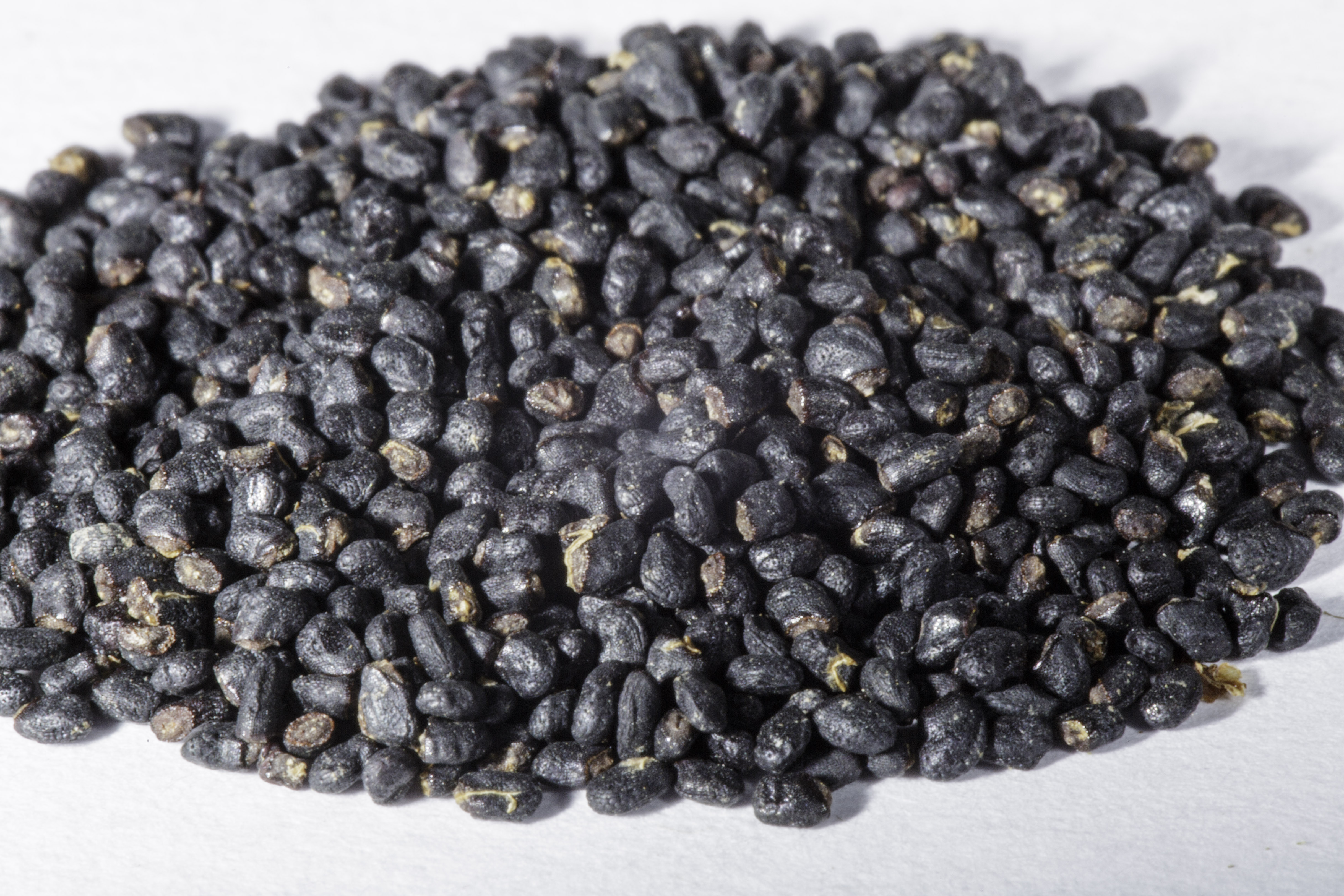 An angled front view of a small pile of Trichocereus pachanoi (San Pedro) seeds.