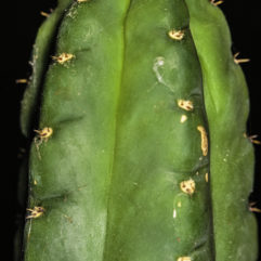 A photograph of the tip of a mature Trichocereus pachanoi (San Pedro) cactus.