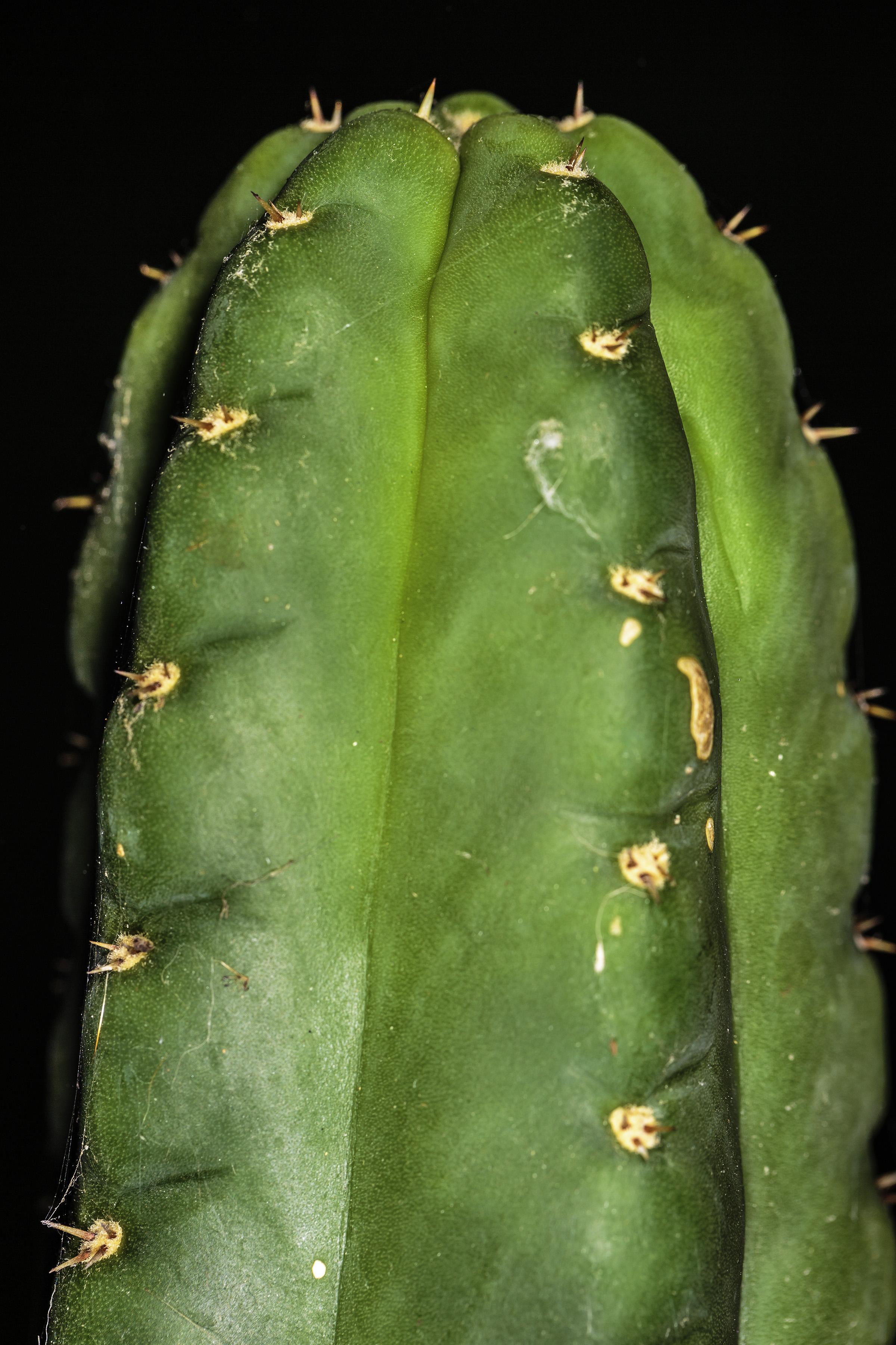 A photograph of the tip of a mature Trichocereus pachanoi (San Pedro) cactus.