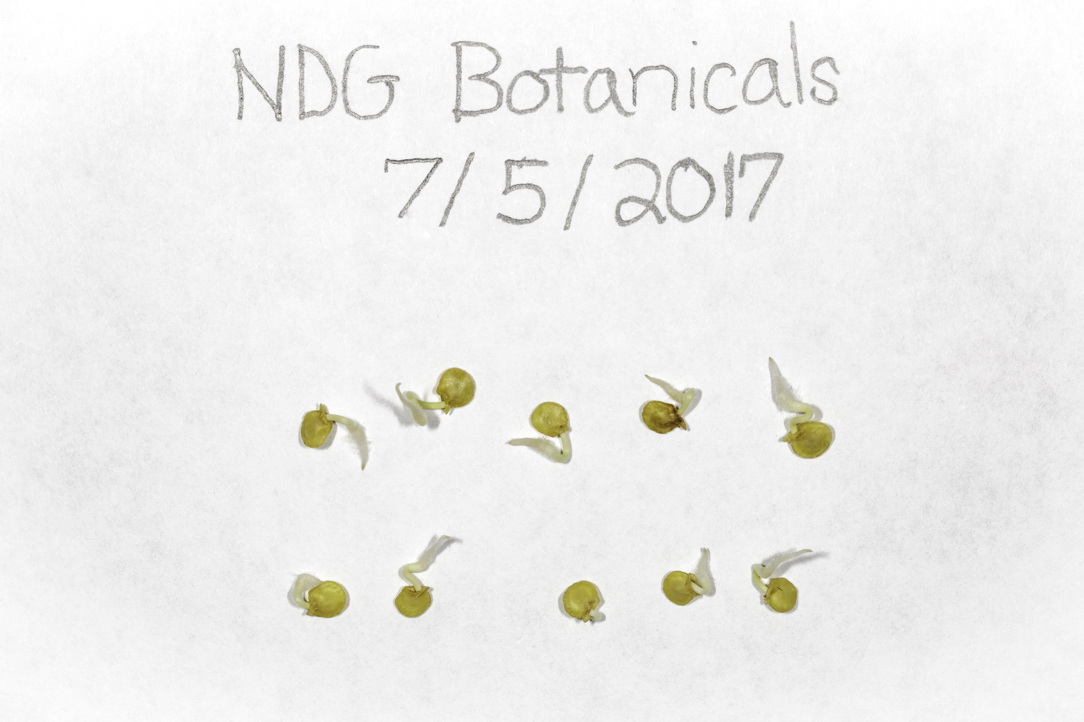 A macro photograph of ten Scotch Bonnet pepper seeds that have begun to germinate.