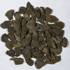 A top down view of a small pile of Brugmansia suaveolens (Angel Trumpet) seeds.