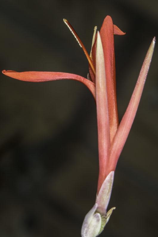 A closeup photograph of a single Canna edulis (Edible Canna) flower.