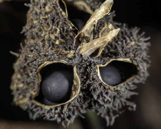 A macro photograph of a dried seedpod of Canna edulis (Edible Canna). The pod has begun to open up and the seeds are now exposed. Given enough time the seed pod would open up more and the seeds would fall to the ground.