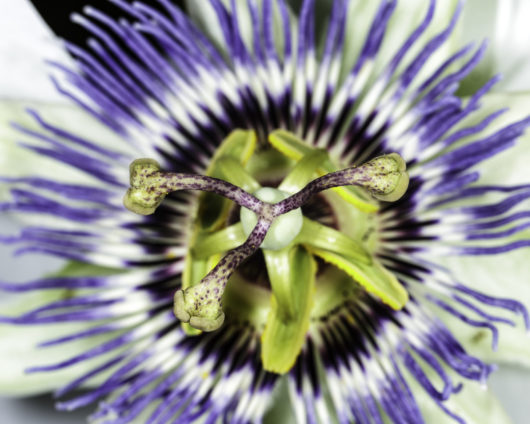 A macro photograph of the stamens of a Passiflora caerulea (Blue Passionflower) flower.