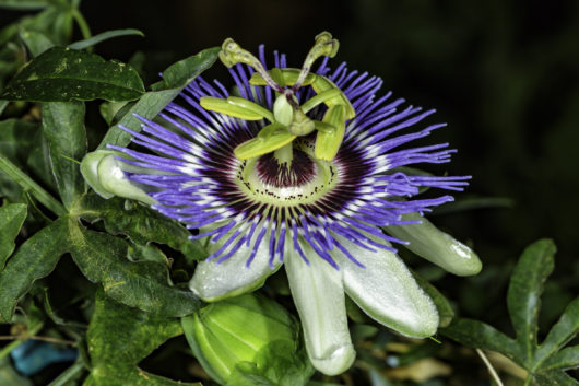 A close-up photograph of a Passiflora caerulea (Blue Passionflower) bloom.