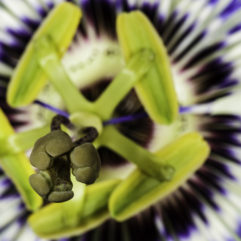 A macro photograph of a Passiflora caerulea (Blue Passionflower) bloom.