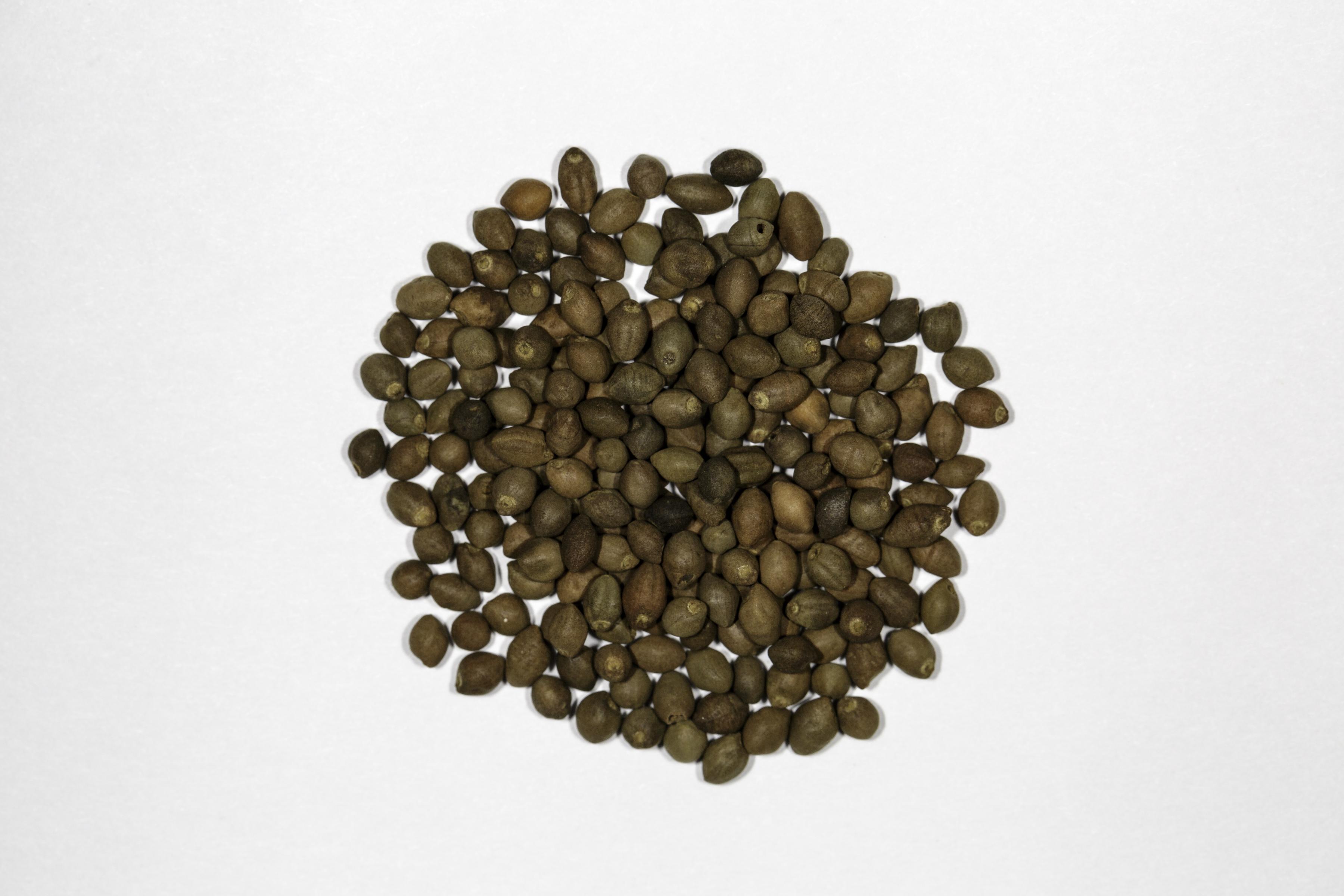 A top down view of a small pile of Rivea/Turbina corymbosa seeds.