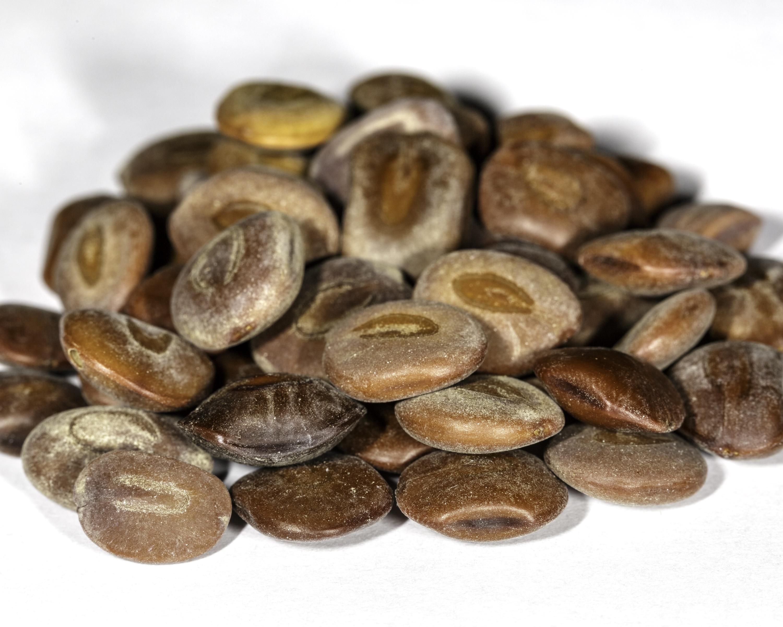 A front angle photograph of a small pile of Acacia / Senegalia berlandieri seeds.