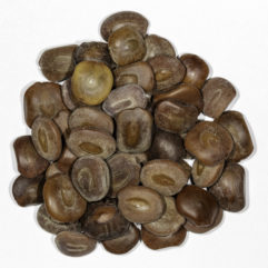 A top down photograph of a small pile of Acacia / Senegalia berlandieri seeds.