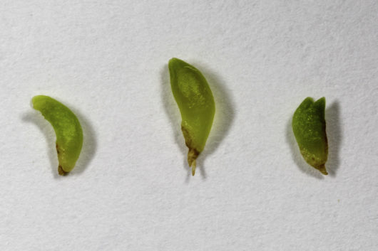 A macro photograph of Trichocereus peruvianus/Echinopsis peruvians (Peruvian Torch cactus) seedlings.