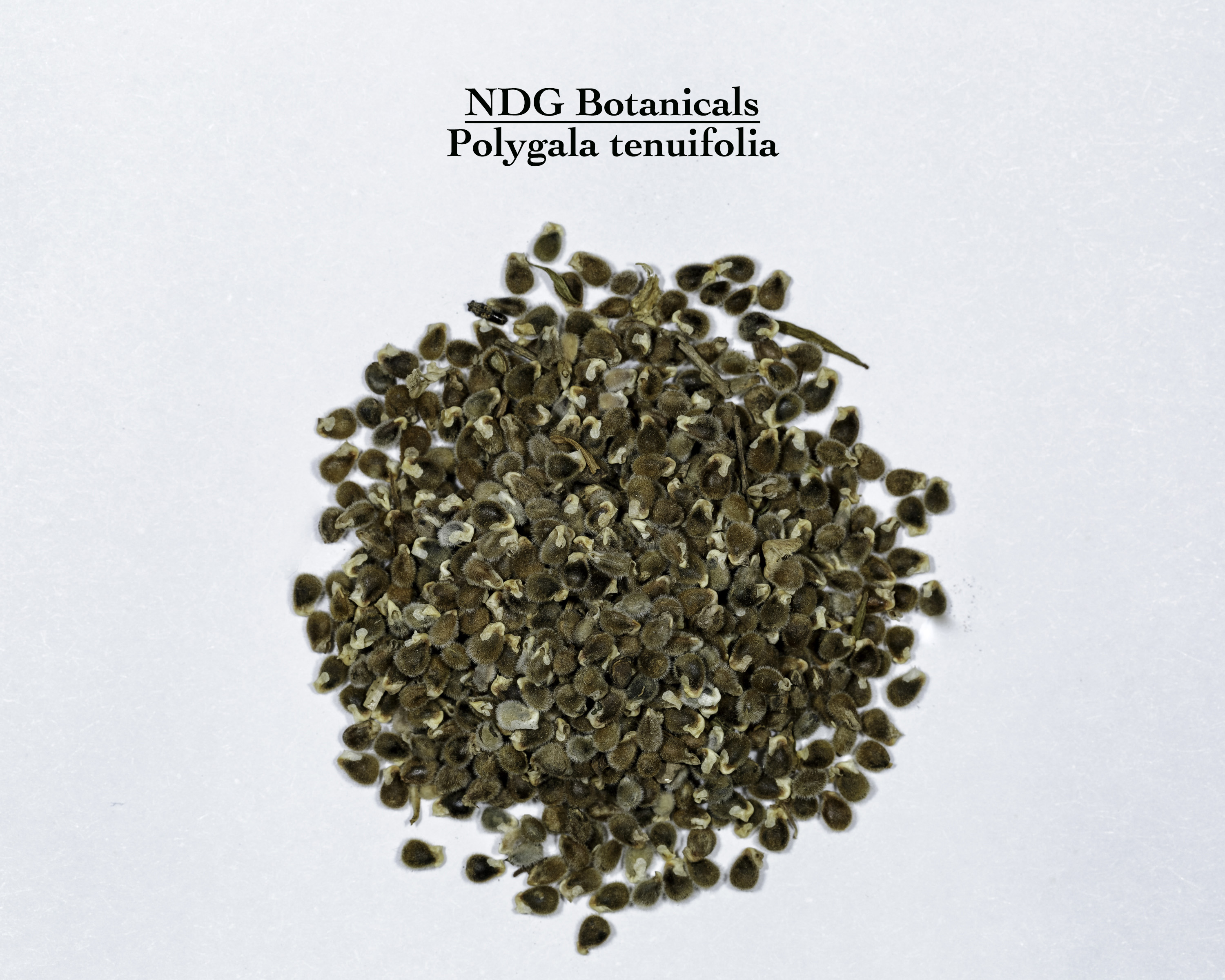 A top down view of a small pile of Polygala tenuifolia (Chinese Senegal) seeds.