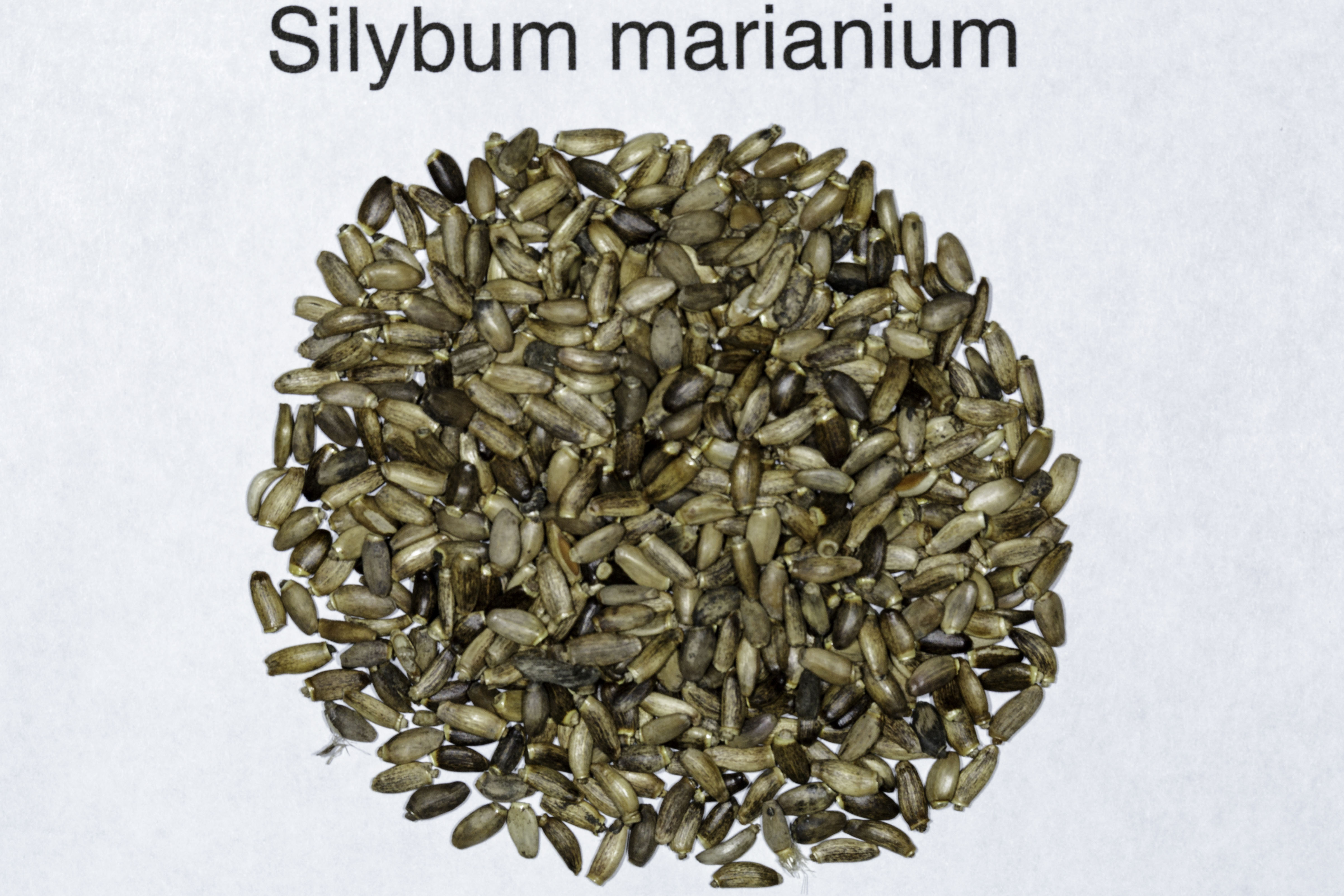 A top down view of a small pile of Silybum marianum (Milk Thistle) seeds.