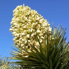 A close-up photograph of a Yucca brevifolia (Joshua Tree) bloom.