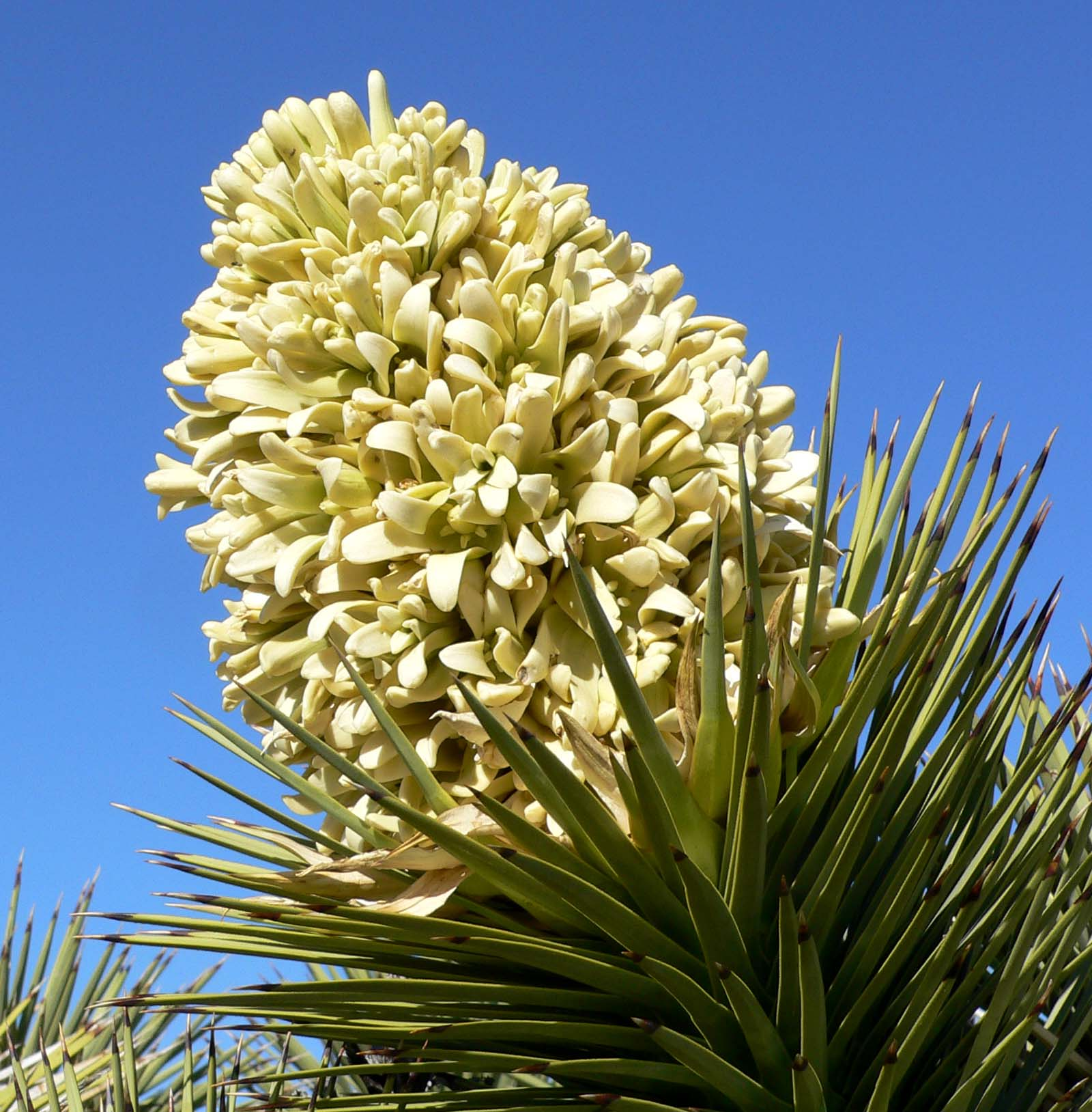 A close-up photograph of a Yucca brevifolia (Joshua Tree) bloom.