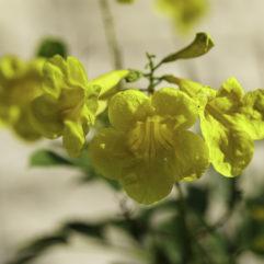 Tecoma stans (Esperanza) yellow flowers.