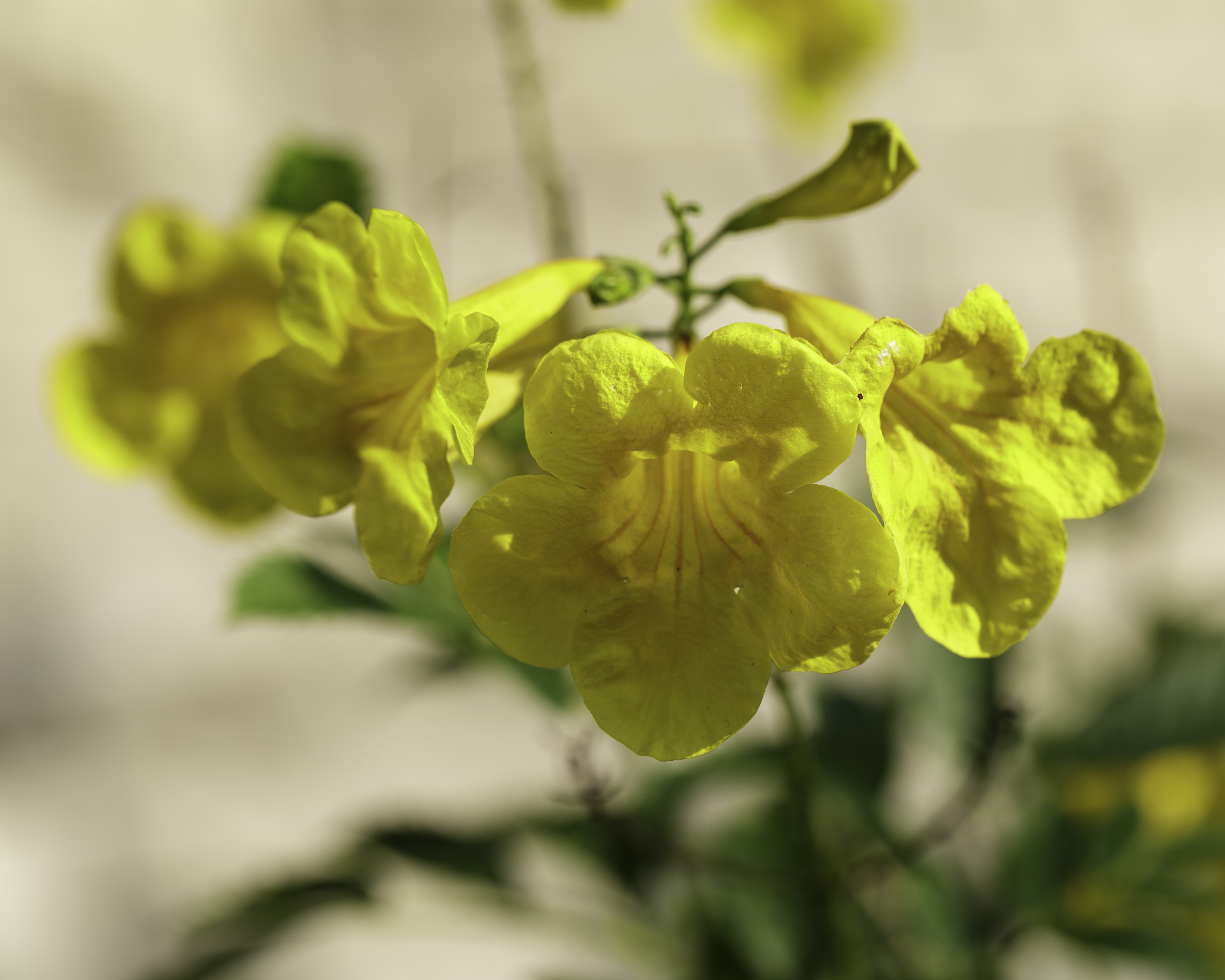 Yellow Bells Ndg Botanicals